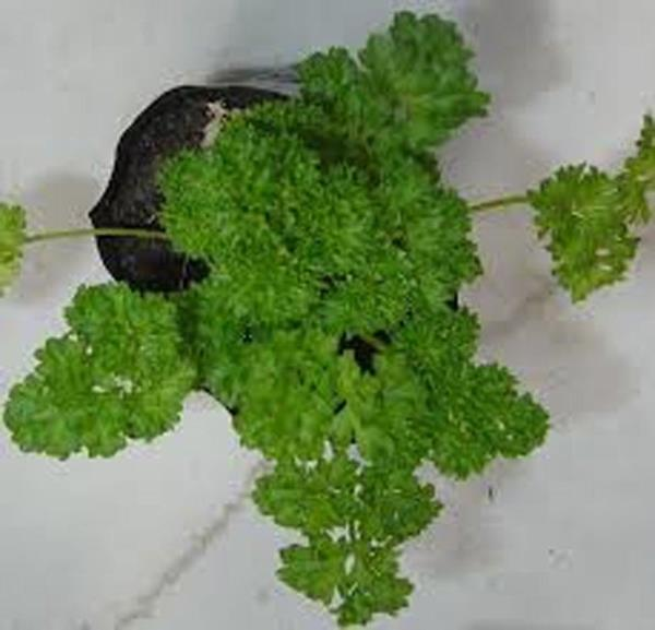Moss Curled Parsely Seed 25 seeds per package. NON-GMO Organic Parsley