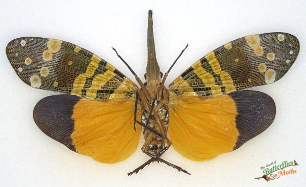 Laternaria Pyrops spinolae Bright Orange Taxidermy REAL Insect